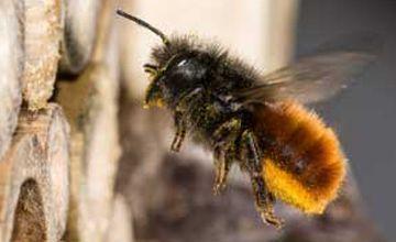 Mauerbienen-Männchen