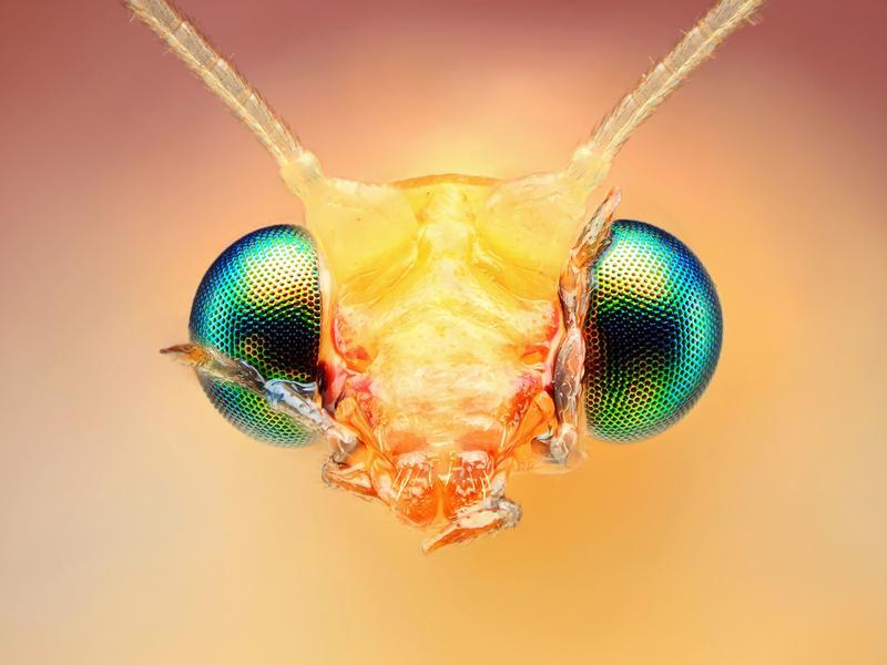 Florfliegenlarve